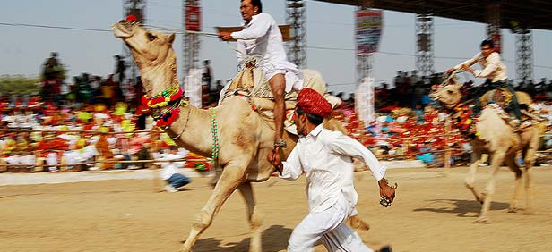 Camel Race, Pushkar Fair